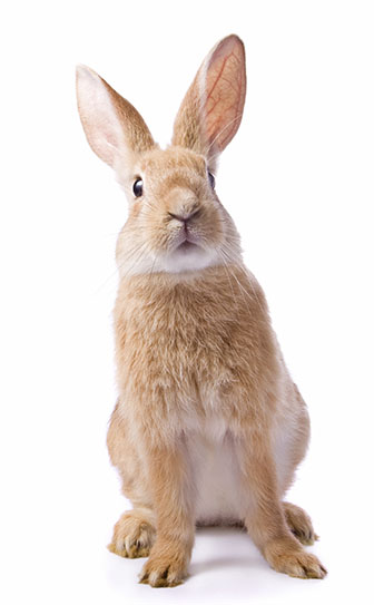 Rabbit Sounds; What Is Your Rabbit Telling You?