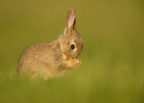 Rabbit Won't Eat After Spay