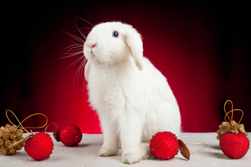 Rabbit Care Tips: Posing Your Rabbit for the Perfect Christmas Photo