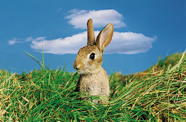 rabbit in field what are rabbits sensitive to