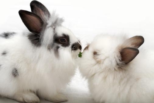 Rabbit Breeding Basics, Make Sure You're Ready
