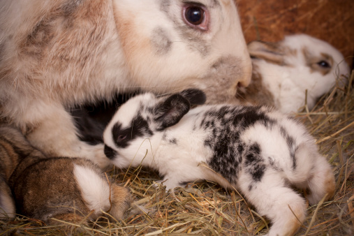 What to Expect When Your Rabbit is Expecting