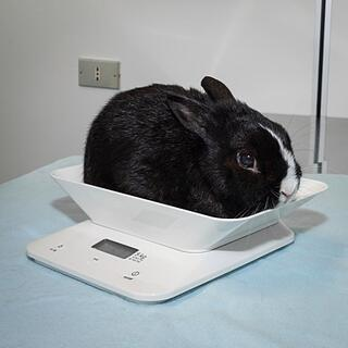 rabbit on scale