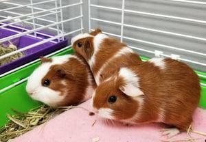 Watertown Humane Society Guinea Pigs