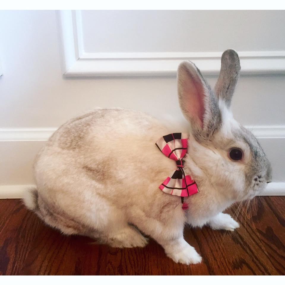 Rabbit_in_a_bowtie.jpg