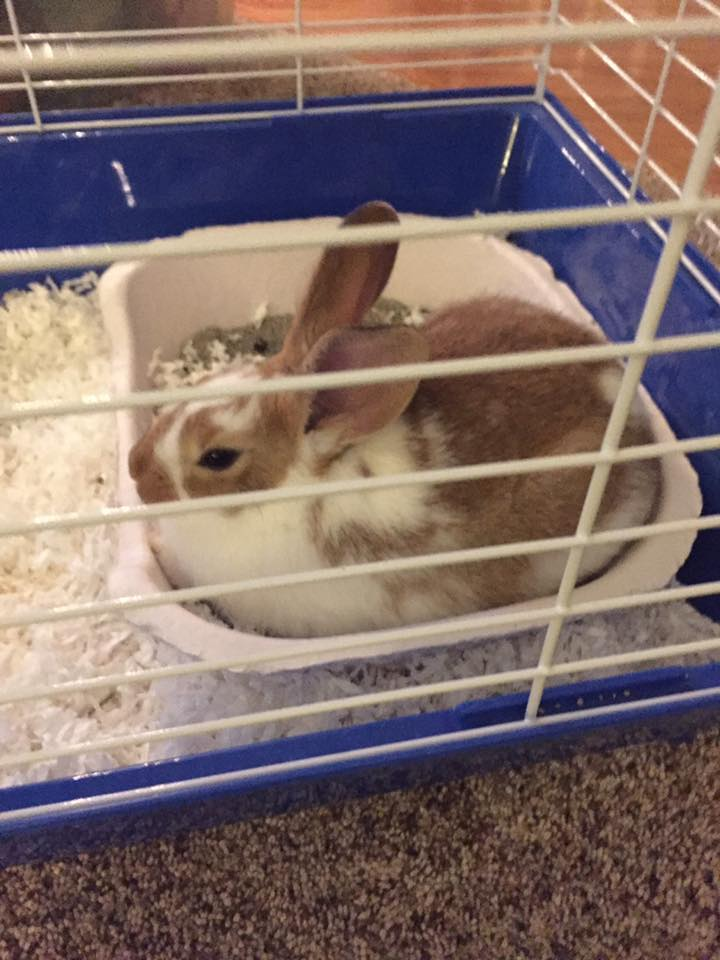 Rabbit_in_a_cage.jpg