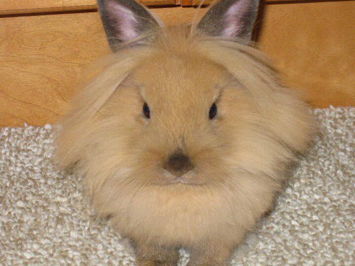 lionhead_baby_bunny.jpg