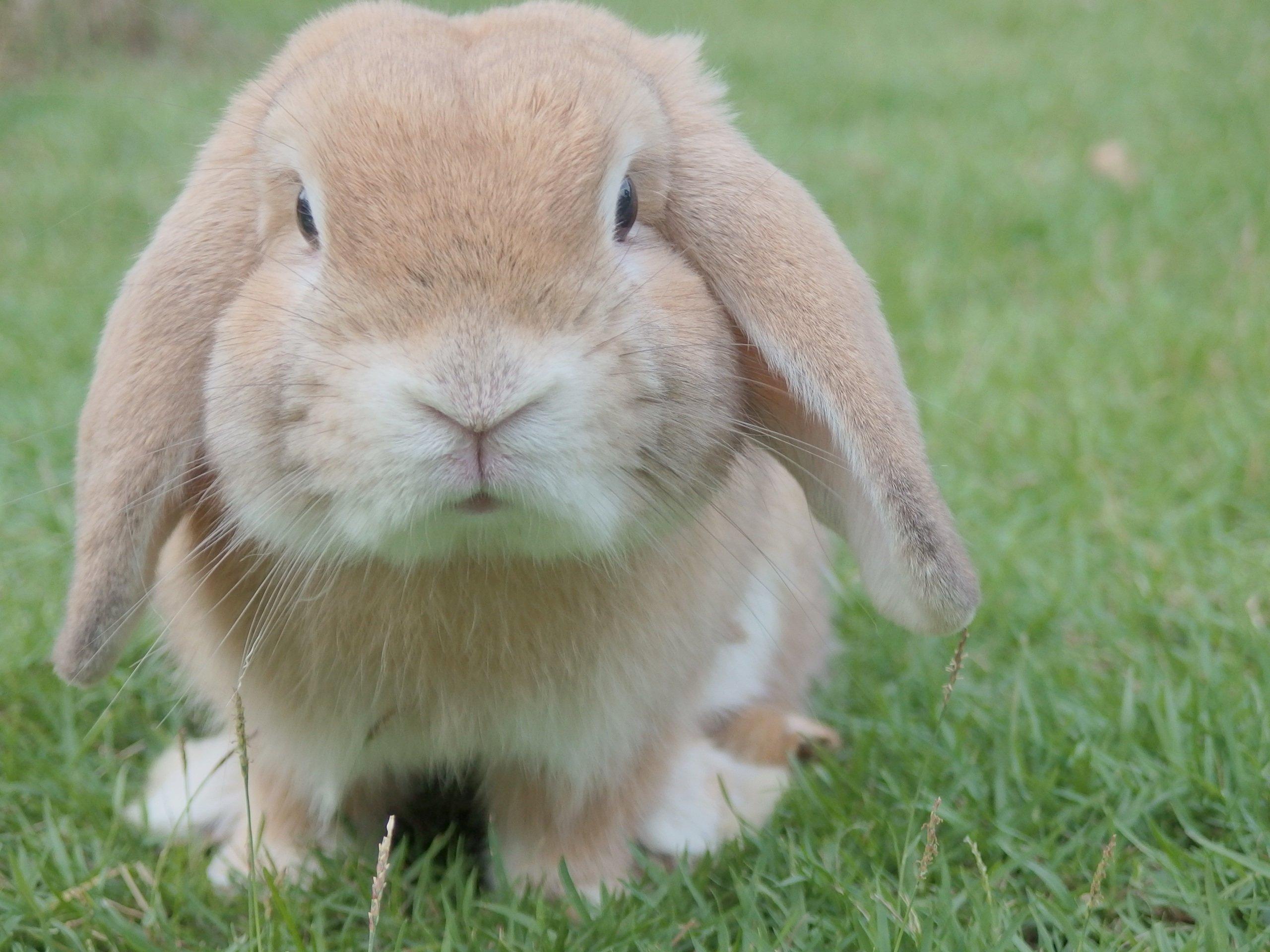 floppy ear rabbit sitting in grass