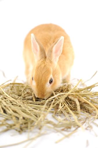 Is Timothy and Alfalfa Hay Always the Best Rabbit Food for My Pet?